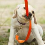 dog-pulling-leash